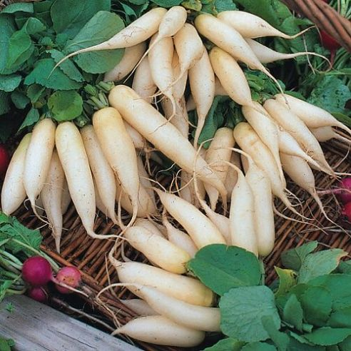 Radish Long White Icicle - Appx 400 seeds